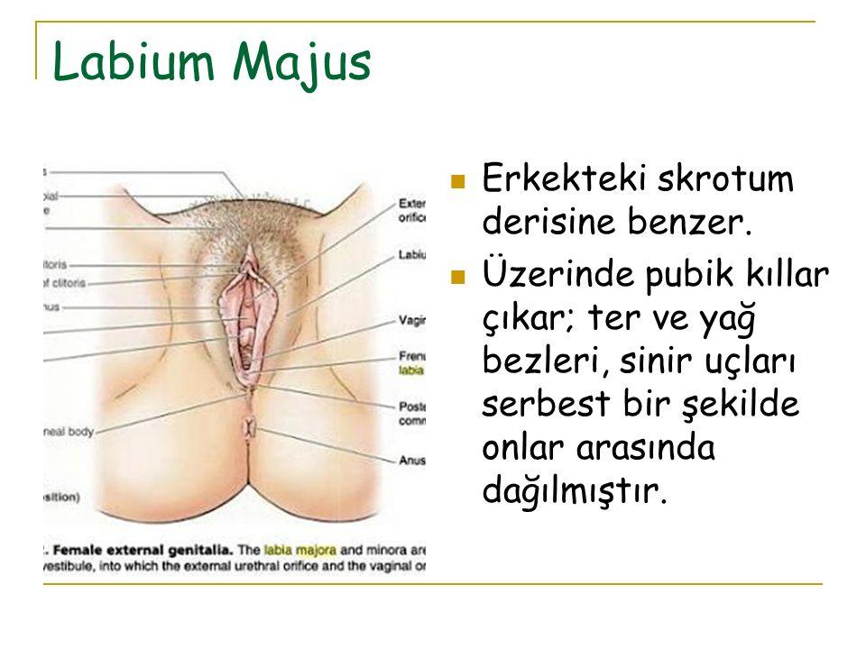 Labium Majus Erkekteki skrotum derisine benzer. Üzerinde pubik kıllar çıkar; ter ve yağ bezleri, sinir uçları serbest bir şekilde onlar arasında dağıl