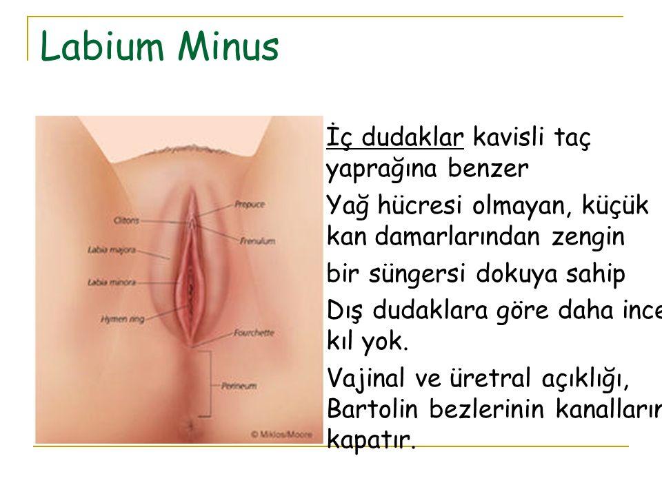 Labium Minus İç dudaklar kavisli taç yaprağına benzer Yağ hücresi olmayan, küçük kan damarlarından zengin bir süngersi dokuya sahip Dış dudaklara göre