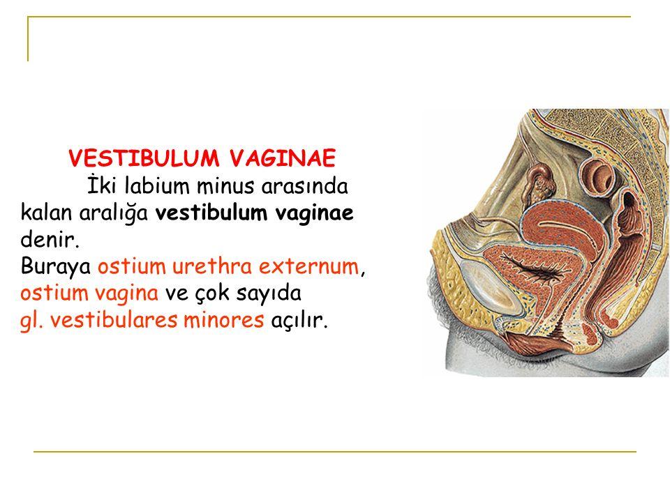 VESTIBULUM VAGINAE İki labium minus arasında kalan aralığa vestibulum vaginae denir. Buraya ostium urethra externum, ostium vagina ve çok sayıda gl. v