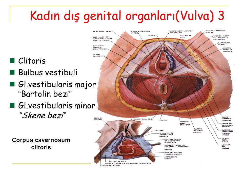 "Corpus cavernosum clitoris Clitoris Bulbus vestibuli Gl.vestibularis major ""Bartolin bezi"" Gl.vestibularis minor ""Skene bezi"" Kadın dış genital organl"