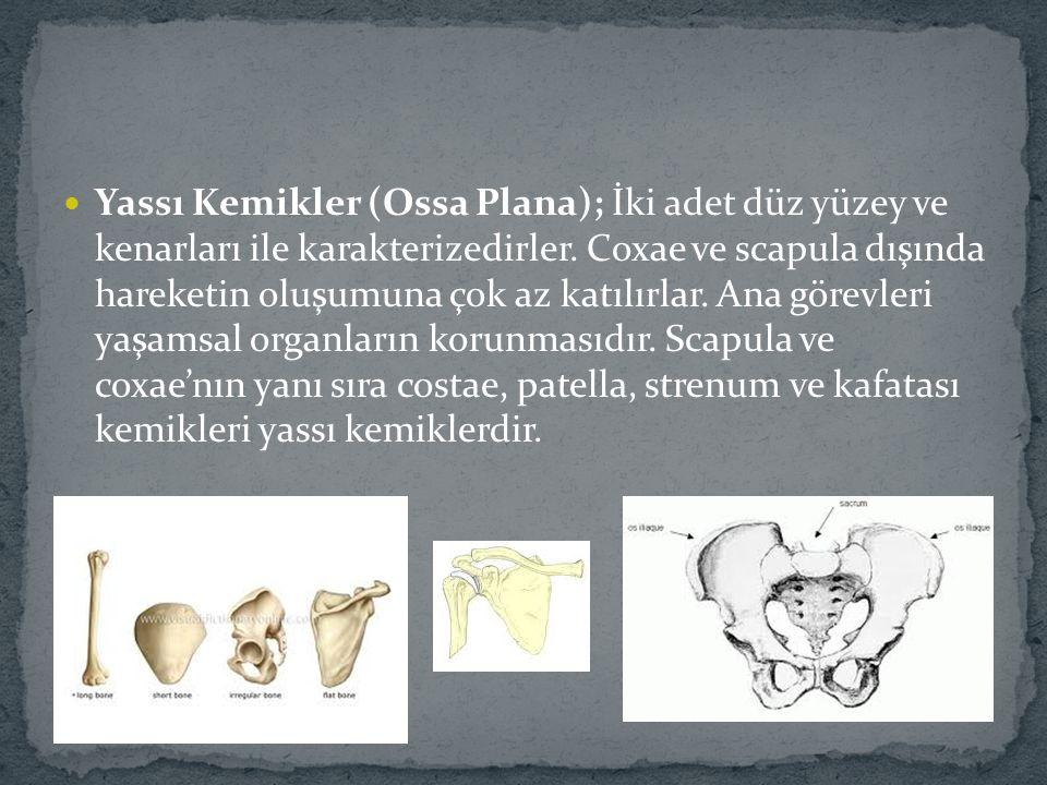 Yassı Kemikler (Ossa Plana); İki adet düz yüzey ve kenarları ile karakterizedirler. Coxae ve scapula dışında hareketin oluşumuna çok az katılırlar. An
