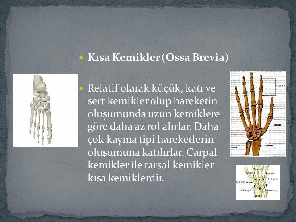 Kısa Kemikler (Ossa Brevia) Relatif olarak küçük, katı ve sert kemikler olup hareketin oluşumunda uzun kemiklere göre daha az rol alırlar. Daha çok ka