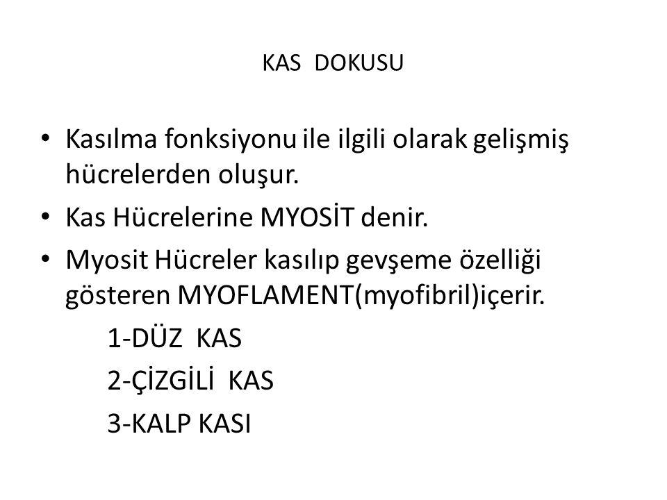 KAS DOKUSU Kasılma fonksiyonu ile ilgili olarak gelişmiş hücrelerden oluşur.