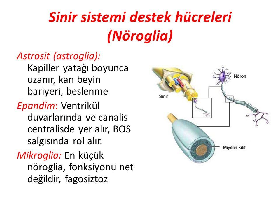 Sinir sistemi destek hücreleri (Nöroglia) Astrosit (astroglia): Kapiller yatağı boyunca uzanır, kan beyin bariyeri, beslenme Epandim: Ventrikül duvarl