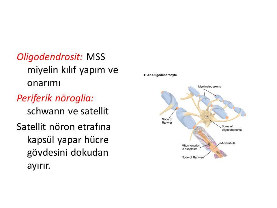 Oligodendrosit: MSS miyelin kılıf yapım ve onarımı Periferik nöroglia: schwann ve satellit Satellit nöron etrafına kapsül yapar hücre gövdesini dokuda