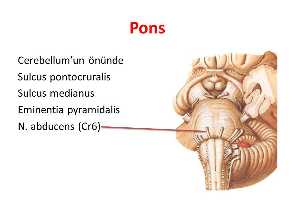 Pons Cerebellum'un önünde Sulcus pontocruralis Sulcus medianus Eminentia pyramidalis N. abducens (Cr6)