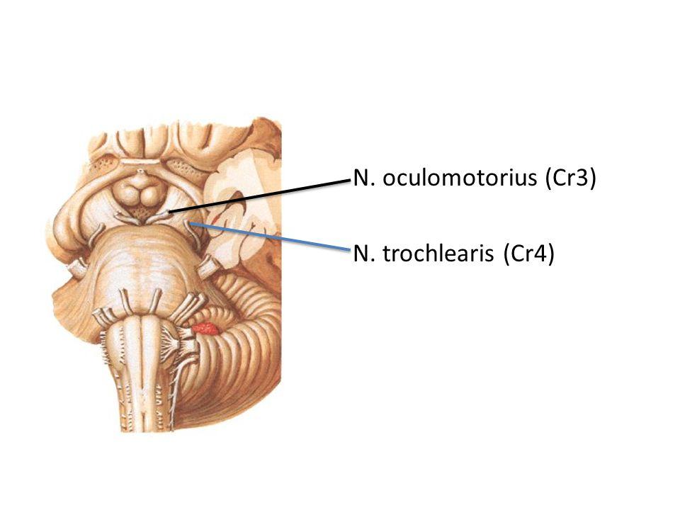 N. oculomotorius (Cr3) N. trochlearis (Cr4)
