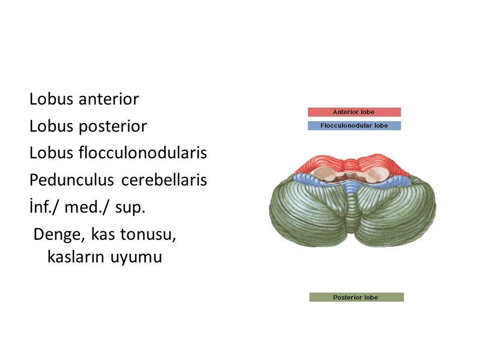 Lobus anterior Lobus posterior Lobus flocculonodularis Pedunculus cerebellaris İnf./ med./ sup. Denge, kas tonusu, kasların uyumu