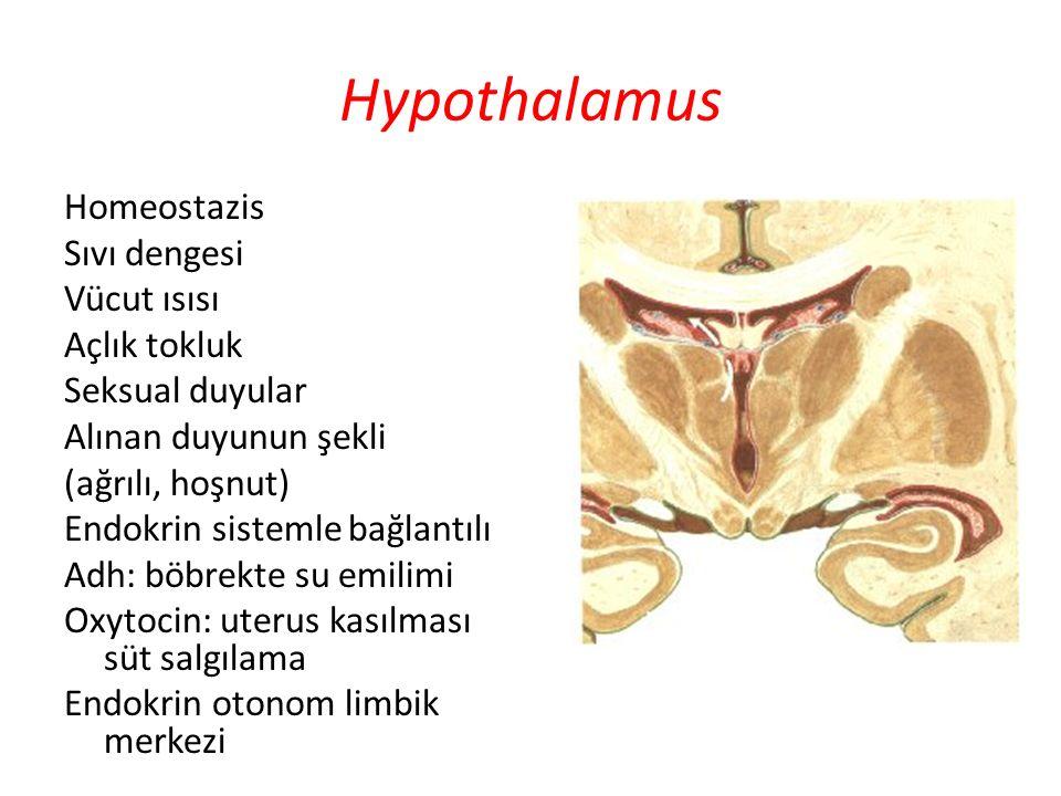 Hypothalamus Homeostazis Sıvı dengesi Vücut ısısı Açlık tokluk Seksual duyular Alınan duyunun şekli (ağrılı, hoşnut) Endokrin sistemle bağlantılı Adh: