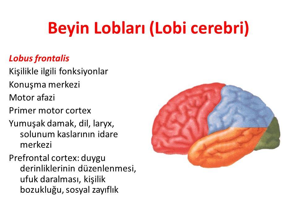 Beyin Lobları (Lobi cerebri) Lobus frontalis Kişilikle ilgili fonksiyonlar Konuşma merkezi Motor afazi Primer motor cortex Yumuşak damak, dil, laryx,