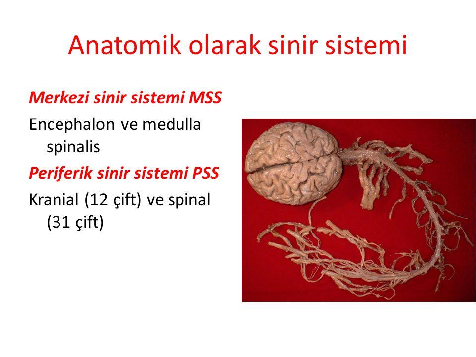 Anatomik olarak sinir sistemi Merkezi sinir sistemi MSS Encephalon ve medulla spinalis Periferik sinir sistemi PSS Kranial (12 çift) ve spinal (31 çif