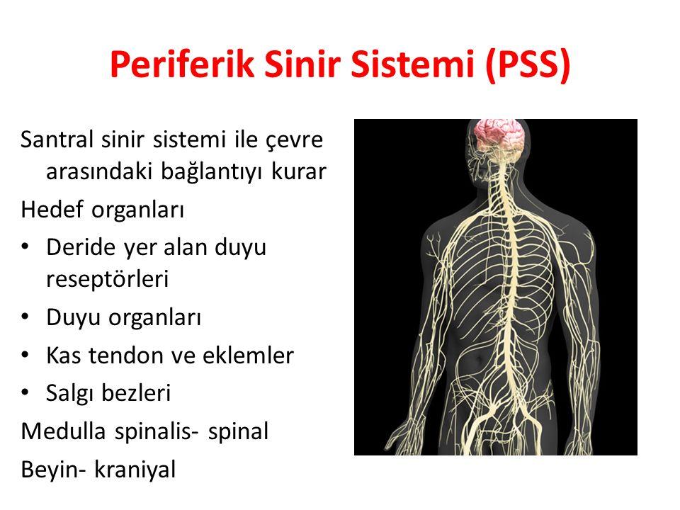 Periferik Sinir Sistemi (PSS) Santral sinir sistemi ile çevre arasındaki bağlantıyı kurar Hedef organları Deride yer alan duyu reseptörleri Duyu organ