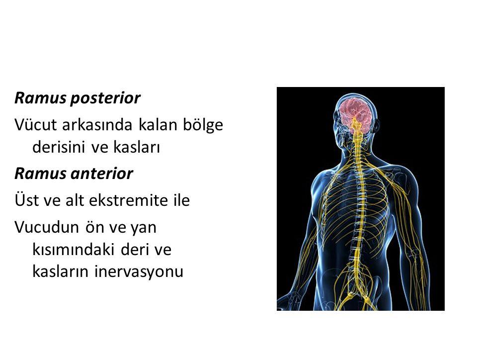 Ramus posterior Vücut arkasında kalan bölge derisini ve kasları Ramus anterior Üst ve alt ekstremite ile Vucudun ön ve yan kısımındaki deri ve kasları