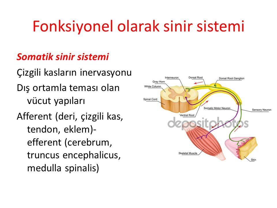 Fonksiyonel olarak sinir sistemi Somatik sinir sistemi Çizgili kasların inervasyonu Dış ortamla teması olan vücut yapıları Afferent (deri, çizgili kas