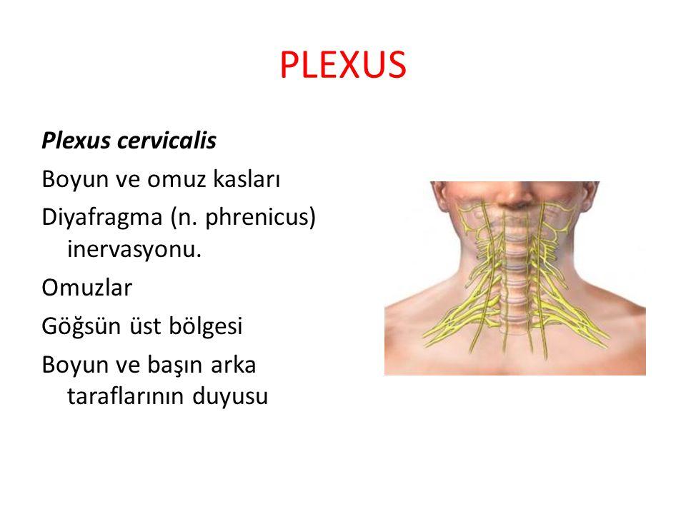 PLEXUS Plexus cervicalis Boyun ve omuz kasları Diyafragma (n. phrenicus) inervasyonu. Omuzlar Göğsün üst bölgesi Boyun ve başın arka taraflarının duyu