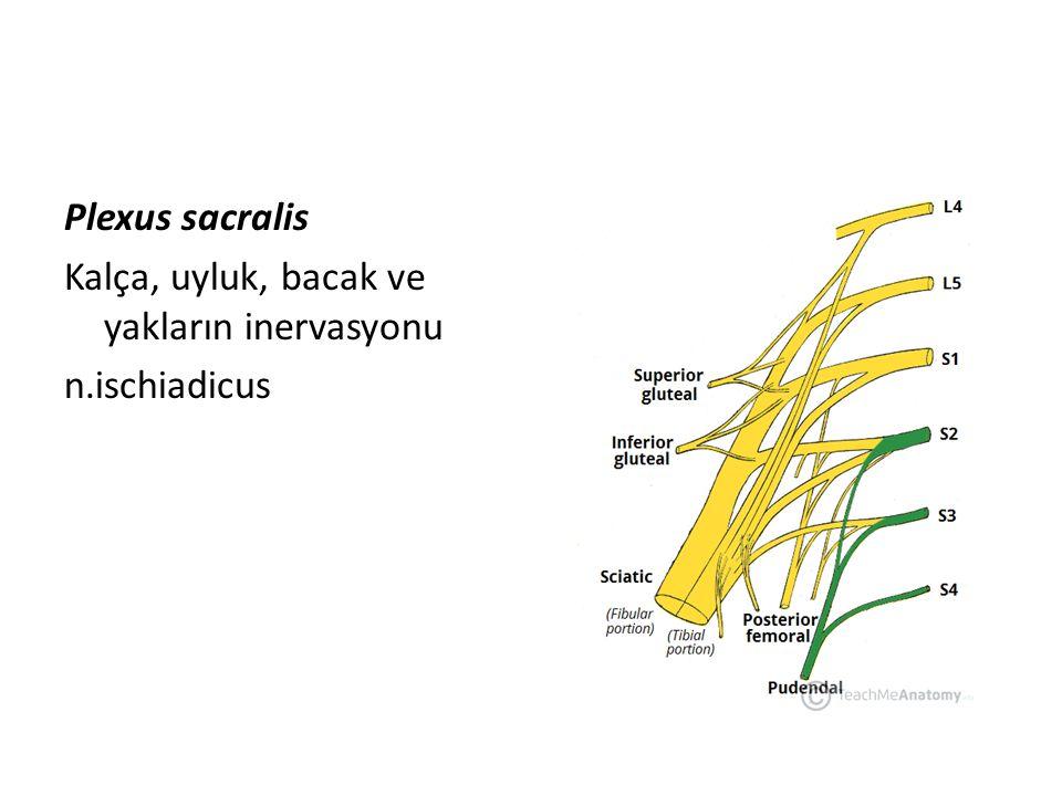 Plexus sacralis Kalça, uyluk, bacak ve yakların inervasyonu n.ischiadicus