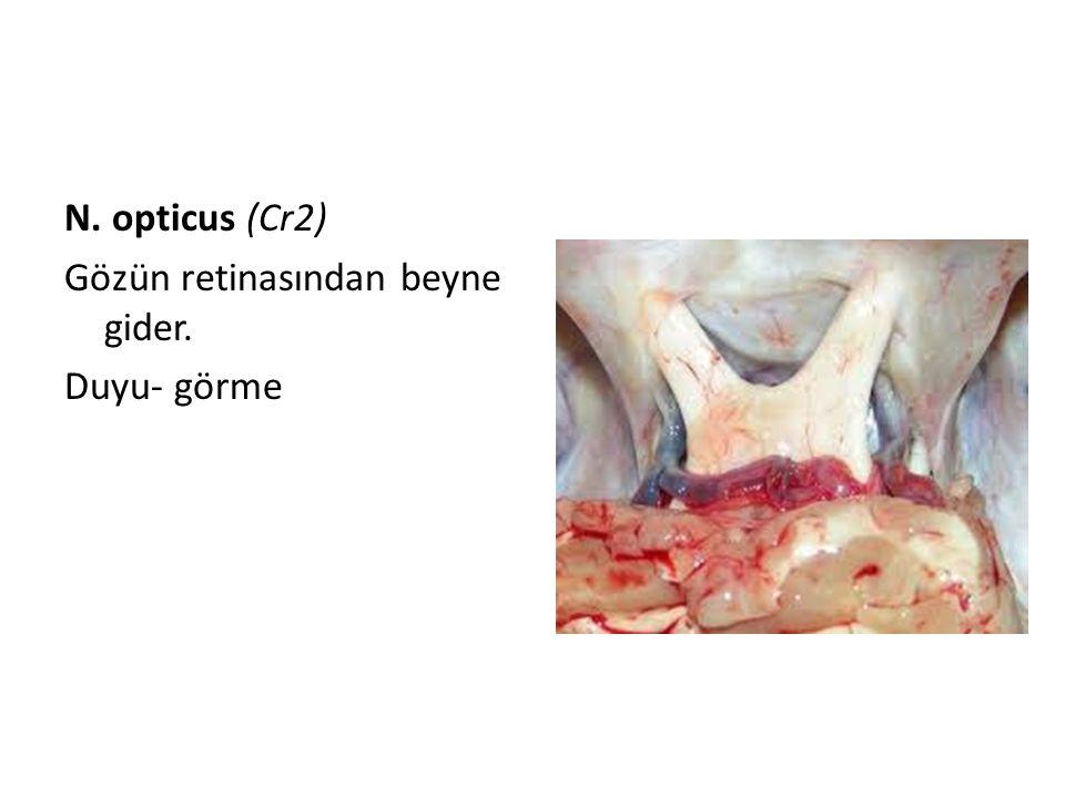 N. opticus (Cr2) Gözün retinasından beyne gider. Duyu- görme