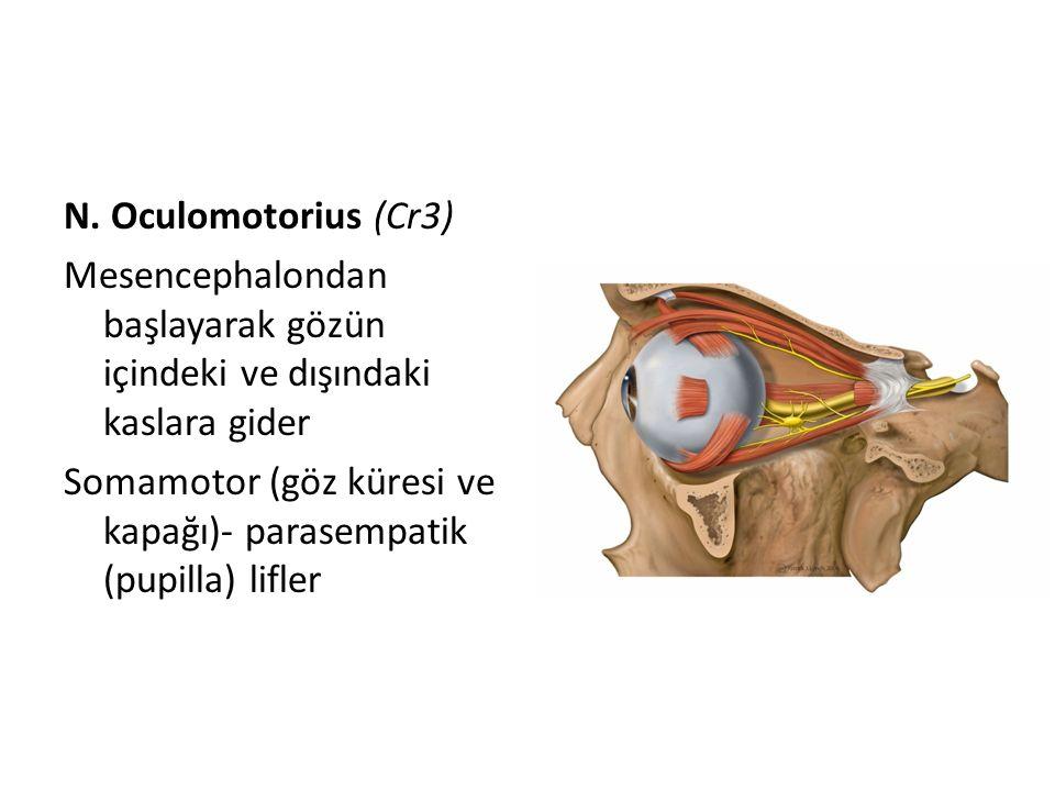 N. Oculomotorius (Cr3) Mesencephalondan başlayarak gözün içindeki ve dışındaki kaslara gider Somamotor (göz küresi ve kapağı)- parasempatik (pupilla)