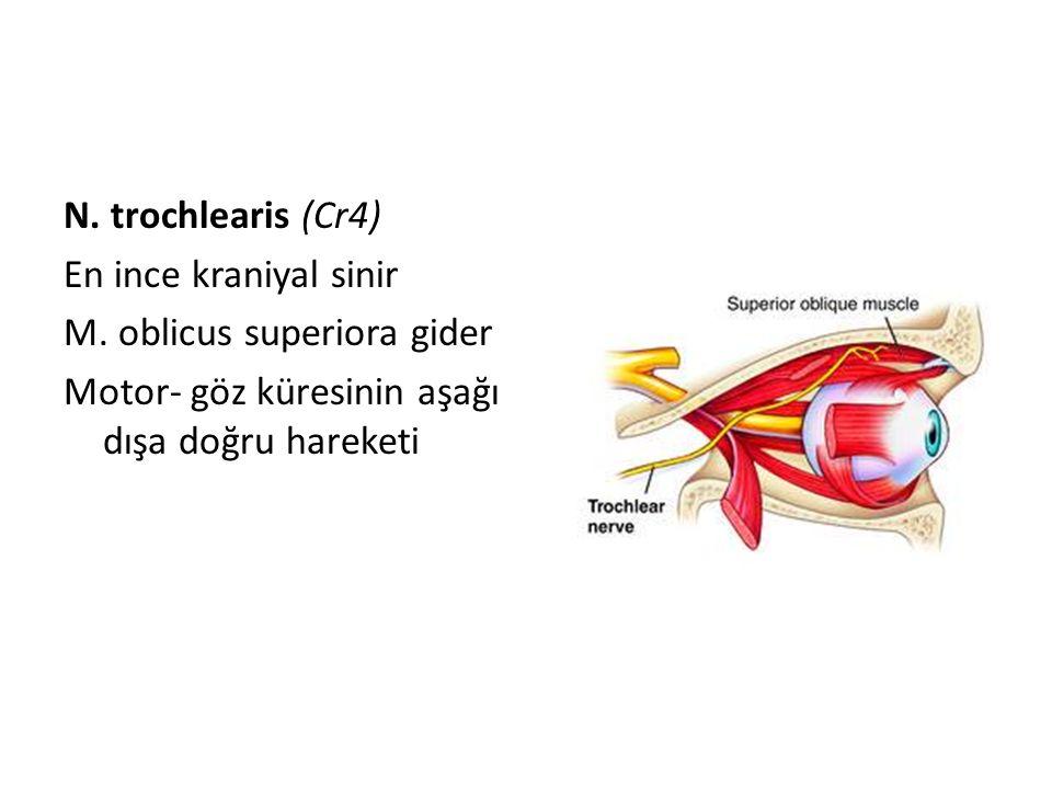 N. trochlearis (Cr4) En ince kraniyal sinir M. oblicus superiora gider Motor- göz küresinin aşağı dışa doğru hareketi
