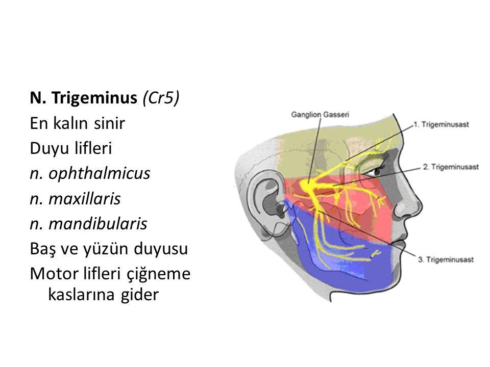 N. Trigeminus (Cr5) En kalın sinir Duyu lifleri n. ophthalmicus n. maxillaris n. mandibularis Baş ve yüzün duyusu Motor lifleri çiğneme kaslarına gide
