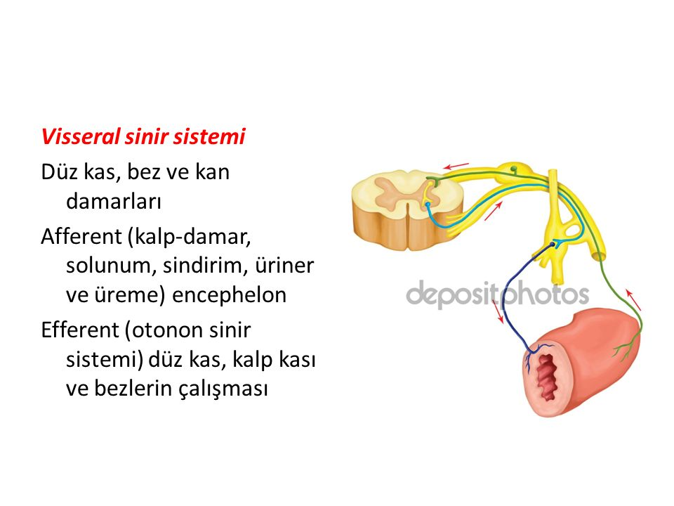 Vücut duvarını innerve eden liflere somatik İç organları innerve eden liflere visseral Duyu taşıyan lifler afferent Emir taşıyan lifler efferent Afferentler: spinal veya kraniyal gangliyonlar Efferentler: somomotor, viseromotor