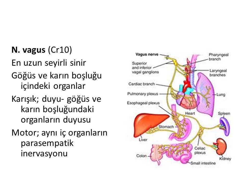 N. vagus (Cr10) En uzun seyirli sinir Göğüs ve karın boşluğu içindeki organlar Karışık; duyu- göğüs ve karın boşluğundaki organların duyusu Motor; ayn