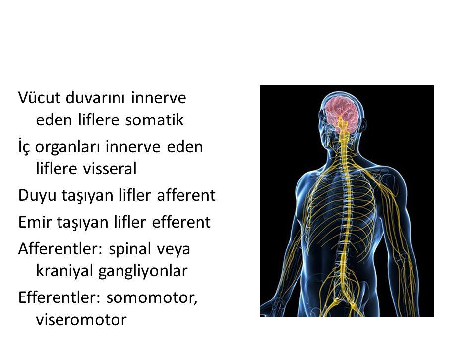 Vücut duvarını innerve eden liflere somatik İç organları innerve eden liflere visseral Duyu taşıyan lifler afferent Emir taşıyan lifler efferent Affer