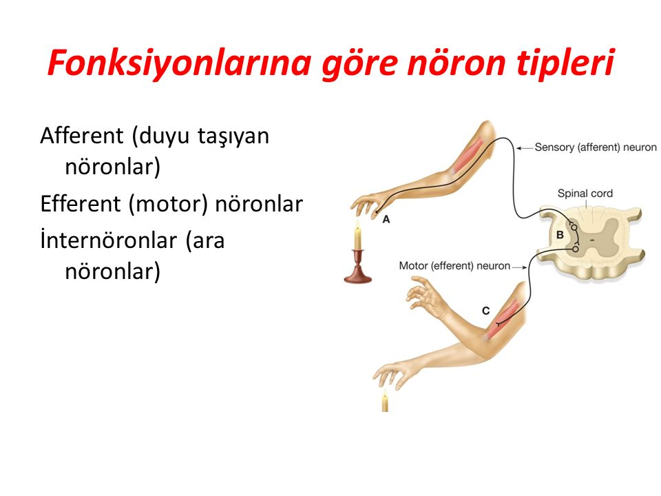 Uzantılarına göre nöronlar Multipolar nöronlar Bipolar nöronlar Unipolar nöronlar