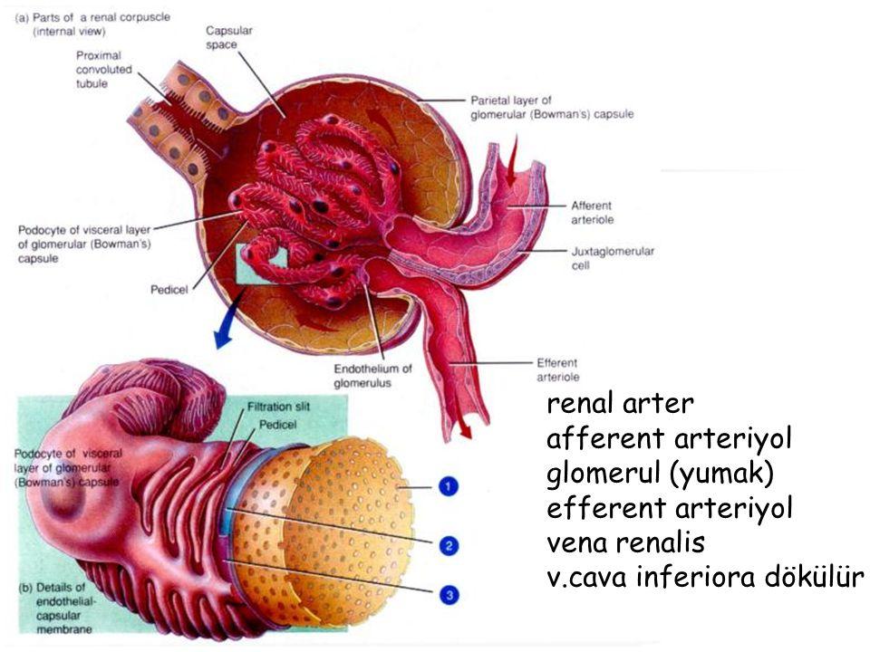 renal arter afferent arteriyol glomerul (yumak) efferent arteriyol vena renalis v.cava inferiora dökülür