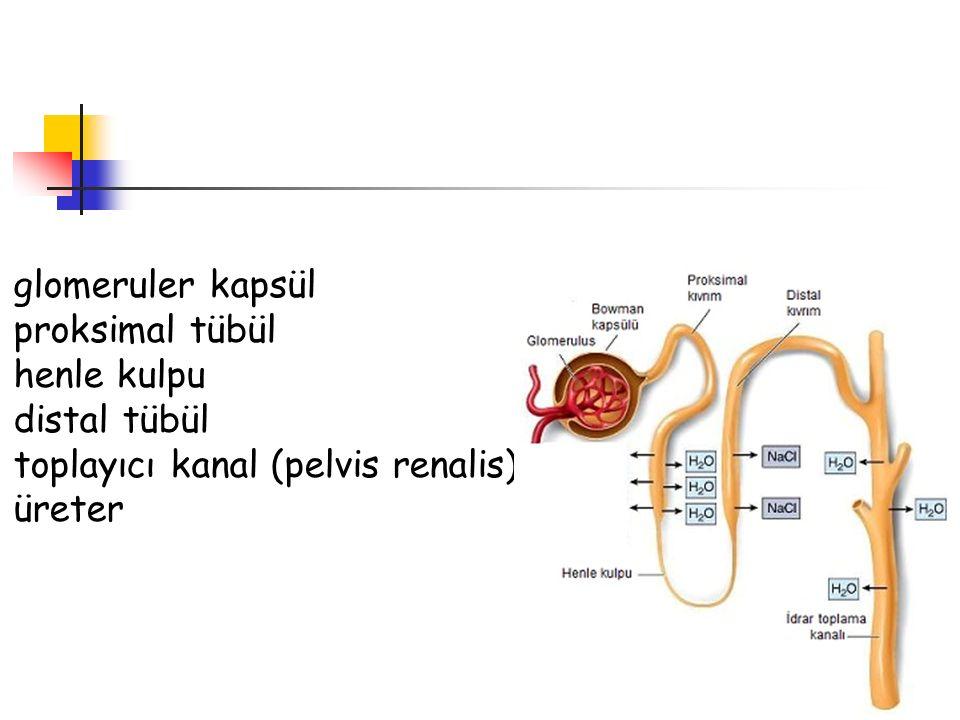 glomeruler kapsül proksimal tübül henle kulpu distal tübül toplayıcı kanal (pelvis renalis) üreter