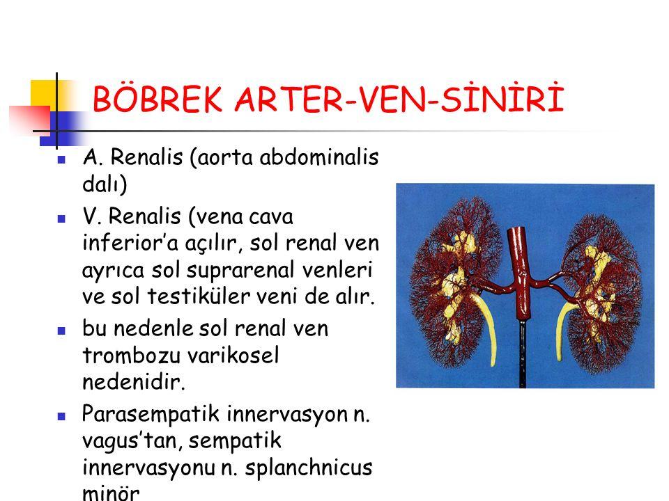 BÖBREK ARTER-VEN-SİNİRİ A. Renalis (aorta abdominalis dalı) V. Renalis (vena cava inferior'a açılır, sol renal ven ayrıca sol suprarenal venleri ve so
