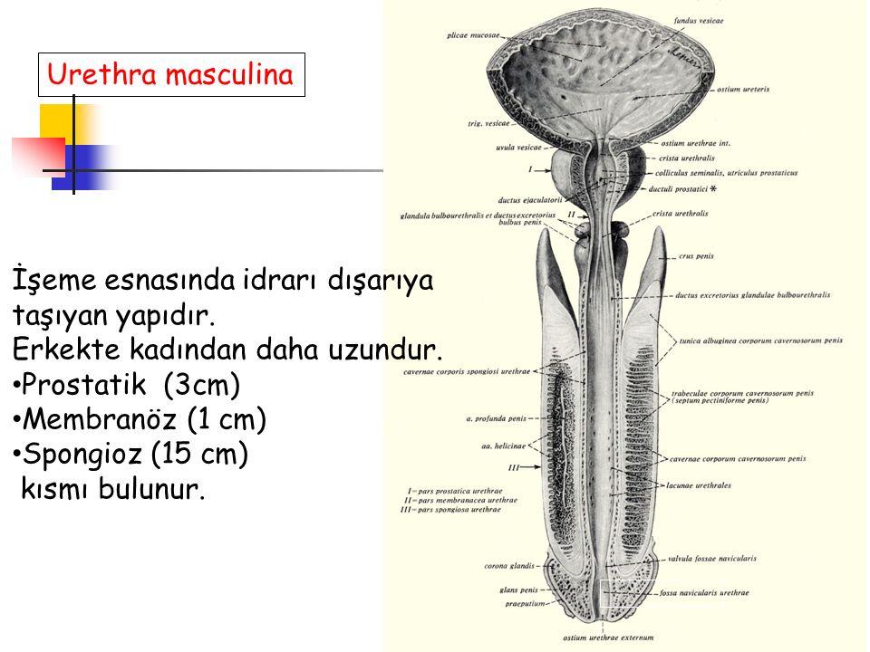 Urethra masculina İşeme esnasında idrarı dışarıya taşıyan yapıdır. Erkekte kadından daha uzundur. Prostatik (3cm) Membranöz (1 cm) Spongioz (15 cm) kı