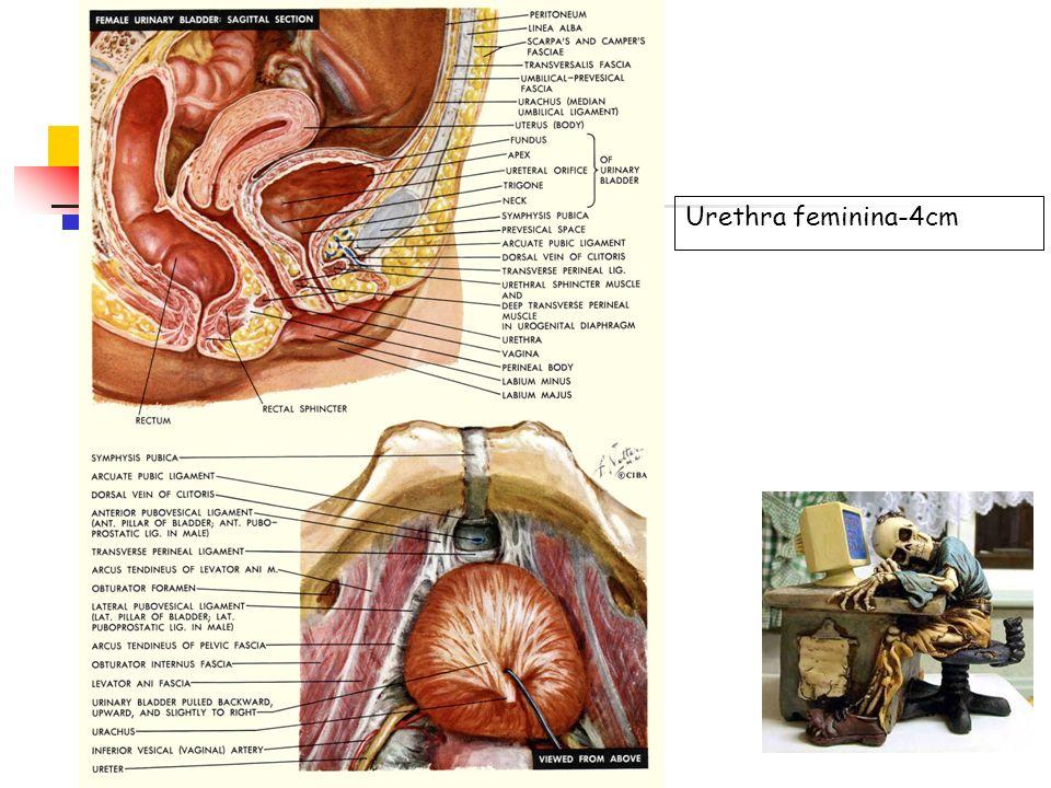 Urethra feminina-4cm