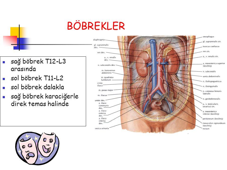 sağ böbrek T12-L3 arasında sol böbrek T11-L2 sol böbrek dalakla sağ böbrek karaciğerle direk temas halinde BÖBREKLER