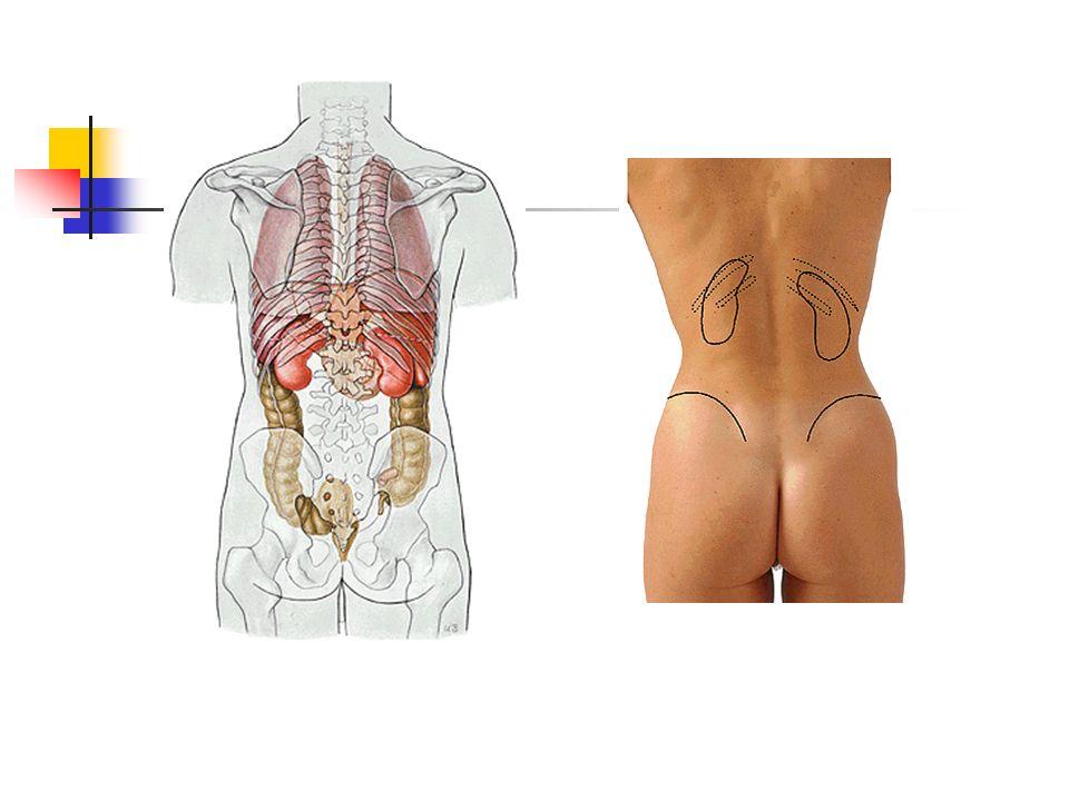 12x5x2,5 cm ebatlarında, 120-200 gr ağırlığında fasulye şeklinde organlardır.