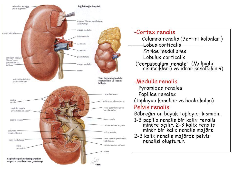 "- Cortex renalis Columna renalis (Bertini kolonları) Lobus corticalis Striae medullares Lobulus corticalis ( "" corpusculum renale "" (Malpighi cisimcik"