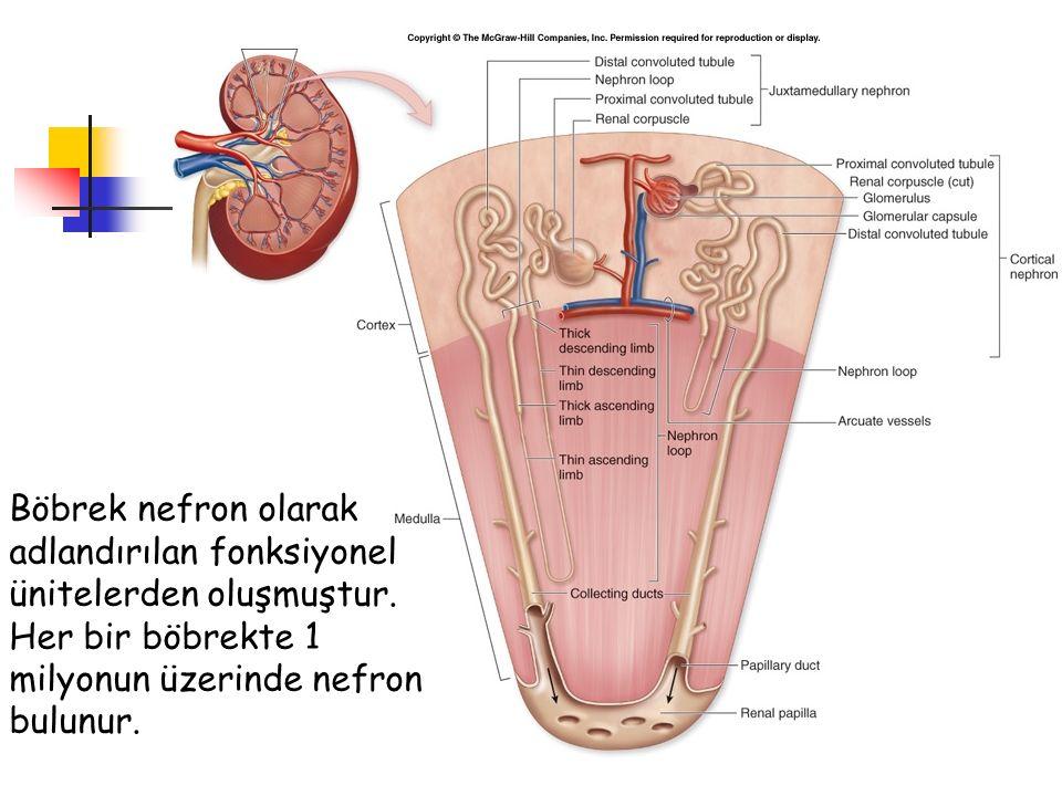 Böbrek nefron olarak adlandırılan fonksiyonel ünitelerden oluşmuştur. Her bir böbrekte 1 milyonun üzerinde nefron bulunur.