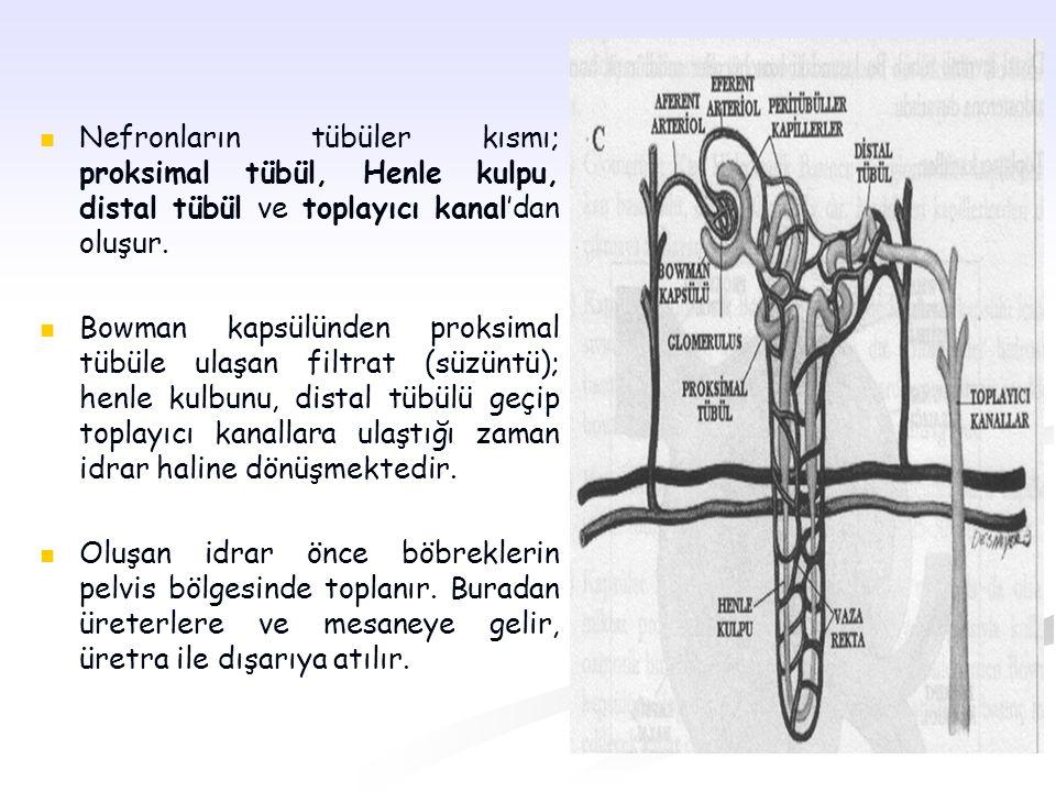 Nefronların tübüler kısmı; proksimal tübül, Henle kulpu, distal tübül ve toplayıcı kanal'dan oluşur. Bowman kapsülünden proksimal tübüle ulaşan filtra