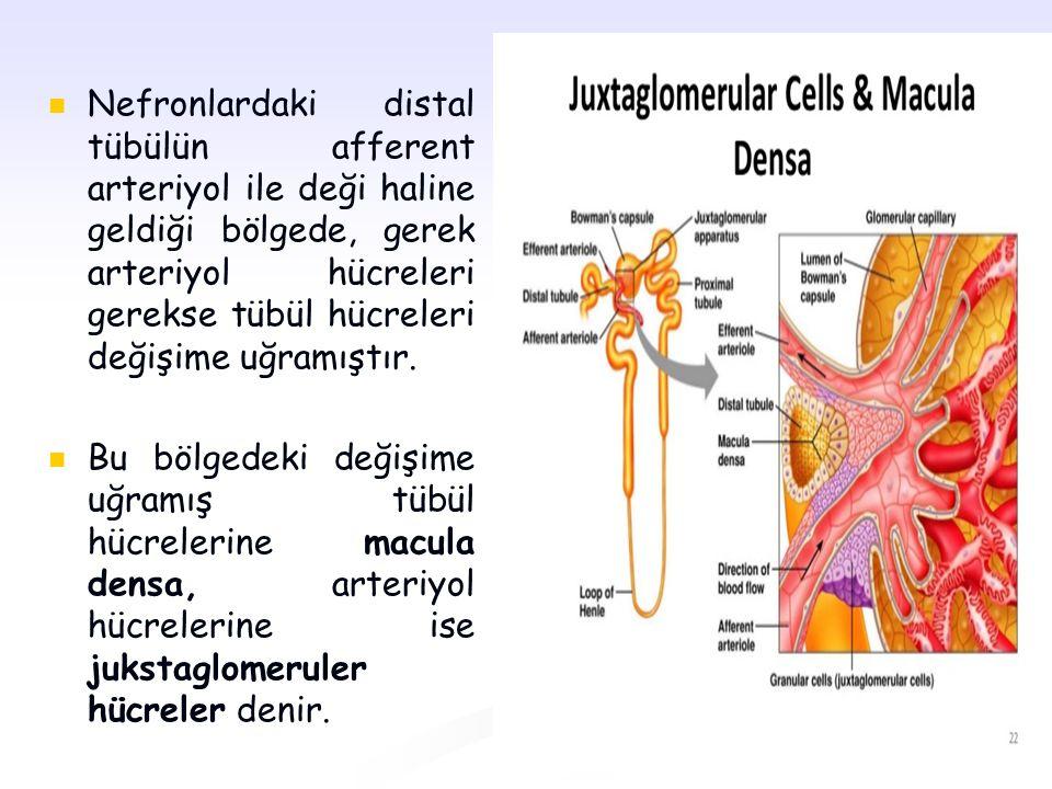 Nefronlardaki distal tübülün afferent arteriyol ile deği haline geldiği bölgede, gerek arteriyol hücreleri gerekse tübül hücreleri değişime uğramıştır