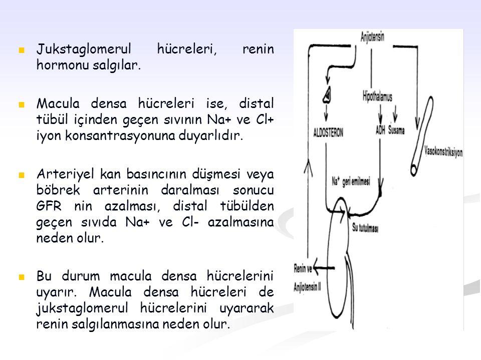 Jukstaglomerul hücreleri, renin hormonu salgılar. Macula densa hücreleri ise, distal tübül içinden geçen sıvının Na+ ve Cl+ iyon konsantrasyonuna duya