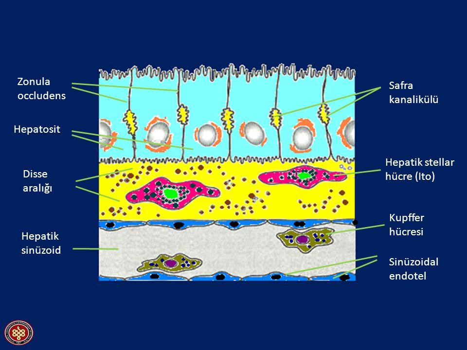 Zonula occludens Hepatik sinüzoid Kupffer hücresi Sinüzoidal endotel Hepatik stellar hücre (Ito) Safra kanalikülü Hepatosit Disse aralığı