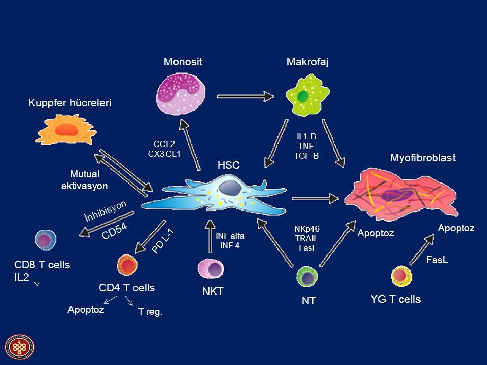 NT NKT HSC CD4 T cells Apoptoz Kuppfer hücreleri Myofibroblast YG T cells Makrofaj Apoptoz T reg. Mutual aktivasyon CD8 T cells IL2 CD54 İnhibisyon CC