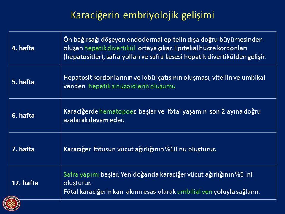 Karaciğerin embriyolojik gelişimi 4.