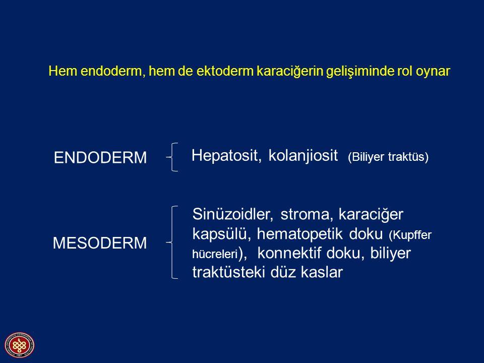 Hem endoderm, hem de ektoderm karaciğerin gelişiminde rol oynar ENDODERM MESODERM Hepatosit, kolanjiosit (Biliyer traktüs) Sinüzoidler, stroma, karaciğer kapsülü, hematopetik doku (Kupffer hücreleri ), konnektif doku, biliyer traktüsteki düz kaslar