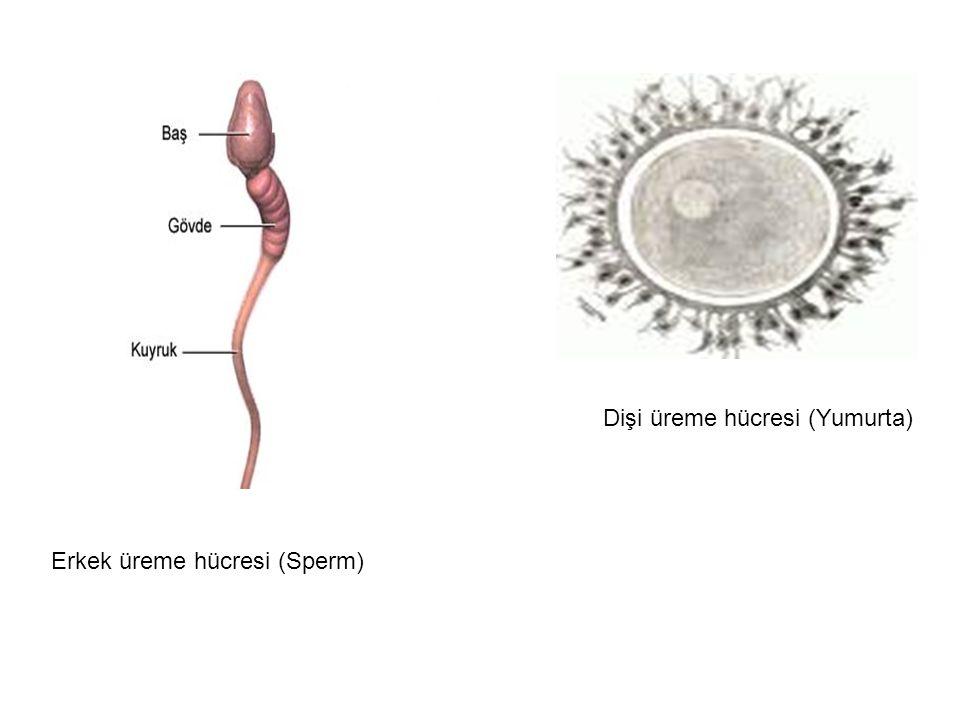 Erkek üreme hücresi (Sperm) Dişi üreme hücresi (Yumurta)