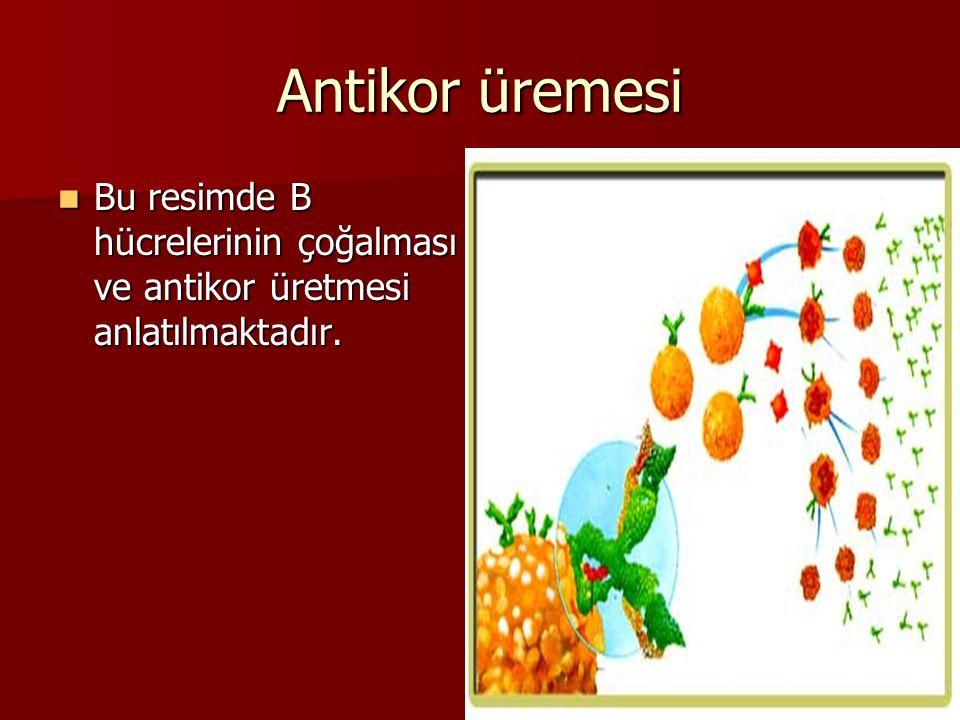 Antikor üremesi Bu resimde B hücrelerinin çoğalması ve antikor üretmesi anlatılmaktadır. Bu resimde B hücrelerinin çoğalması ve antikor üretmesi anlat