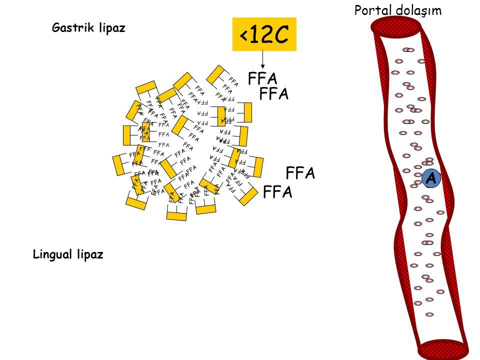FFA Lingual lipaz Gastrik lipaz FFA Portal dolaşım A <12C