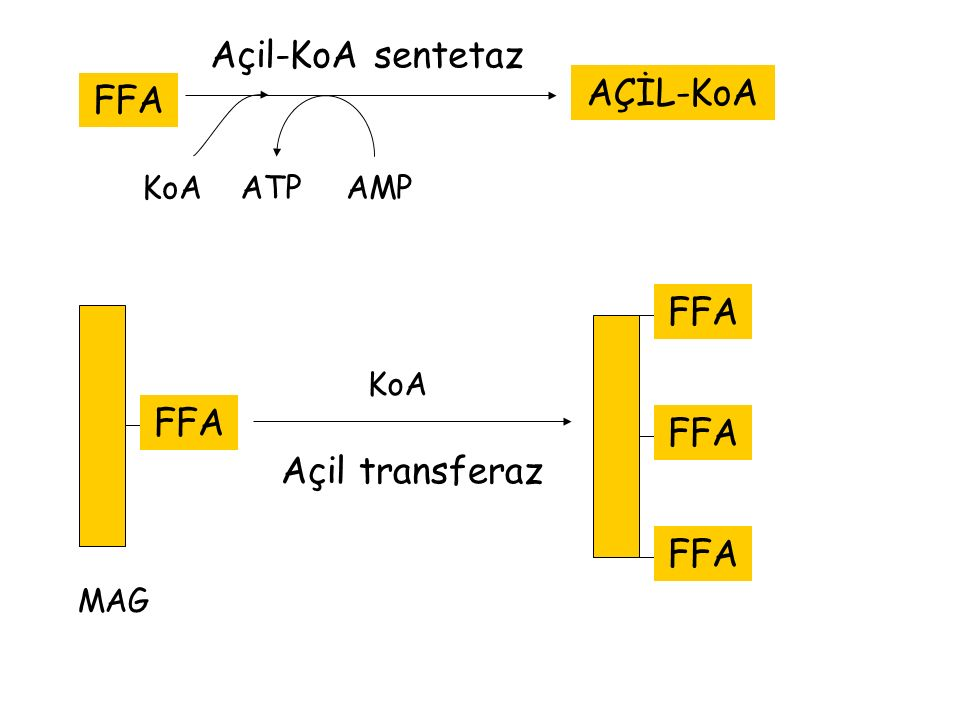 FFA AÇİL-KoA KoAATPAMP Açil-KoA sentetaz FFA MAG FFA Açil transferaz FFA KoA