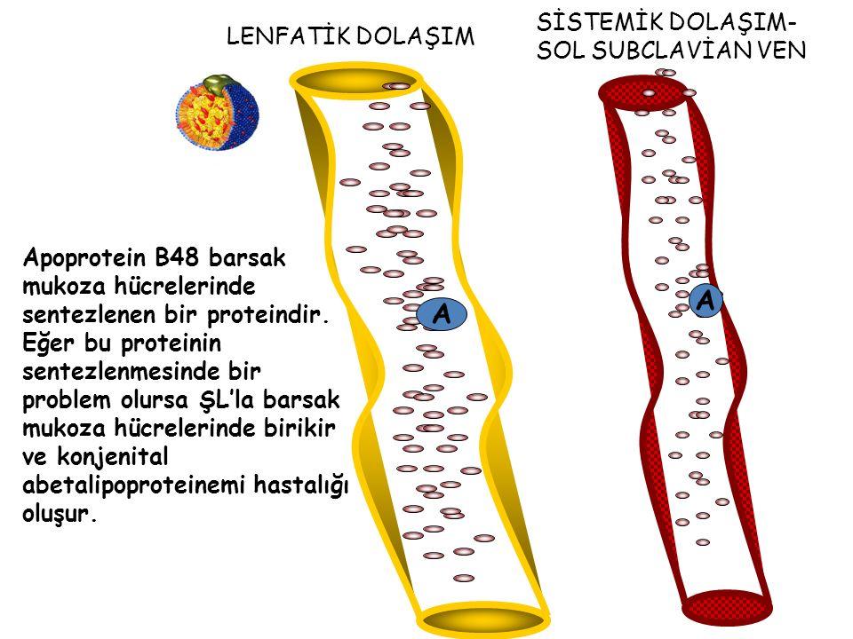LENFATİK DOLAŞIM A SİSTEMİK DOLAŞIM- SOL SUBCLAVİAN VEN A Apoprotein B48 barsak mukoza hücrelerinde sentezlenen bir proteindir.