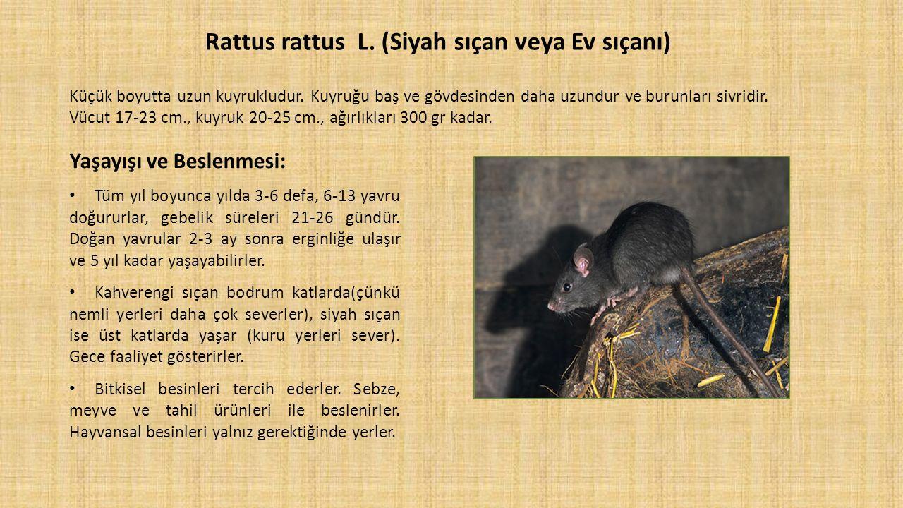 Rattus rattus L. (Siyah sıçan veya Ev sıçanı) Küçük boyutta uzun kuyrukludur. Kuyruğu baş ve gövdesinden daha uzundur ve burunları sivridir. Vücut 17-